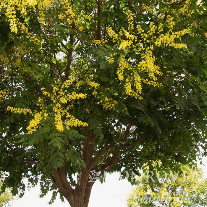 #15 Koelreuteria paniculata/Golden Raintree