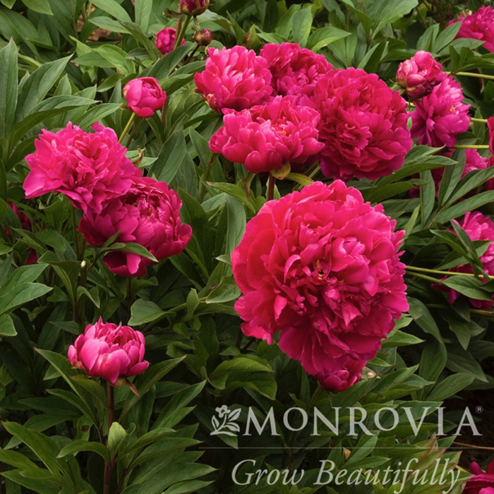 #2 Paeonia x Karl Rosenfield/Peony Dbl Red
