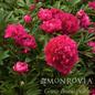 #2 Paeonia x Karl Rosenfield/Peony Dbl Red