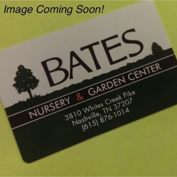 Edible #3 Rubus Natchez/Thornless Blackberry