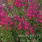 #5 Lagerstroemia x Tonto/Crape Myrtle Semi-Dwarf Fuchsia Red
