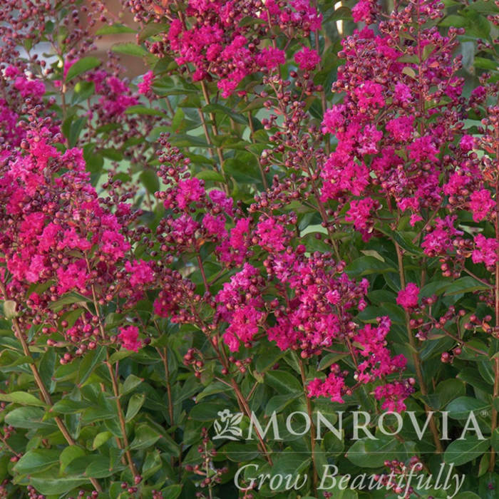 #15 Lagerstroemia x Tonto/Crape Myrtle Semi-Dwarf Fuchsia Red