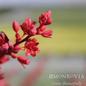 #1 Hesperaloe parviflora Brake Lights/Red Yucca