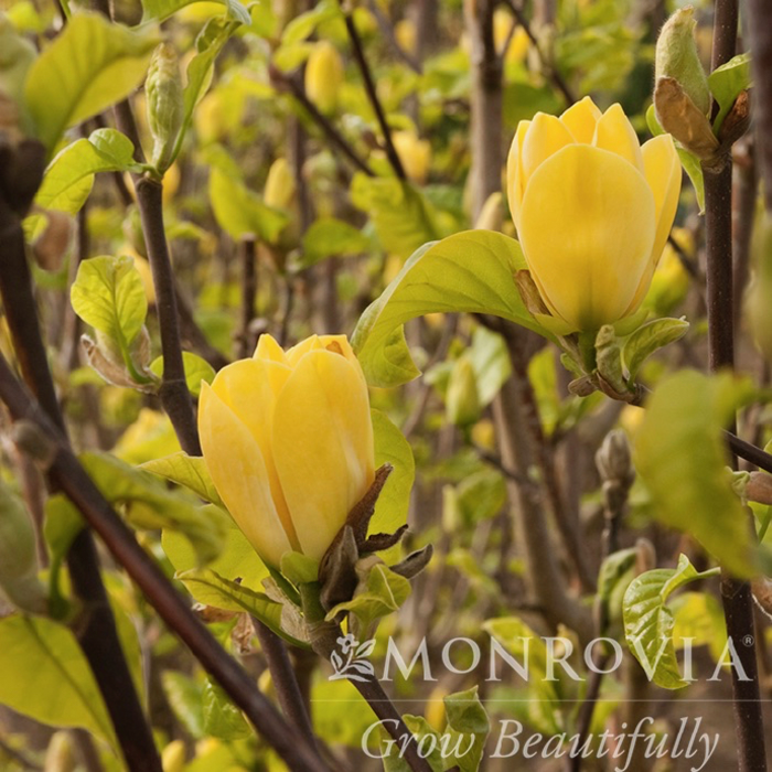 #5 Tree Magnolia x 'Yellow Bird'/Deciduous Single