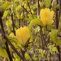 #5 Tree Magnolia x 'Yellow Bird'/Deciduous Single