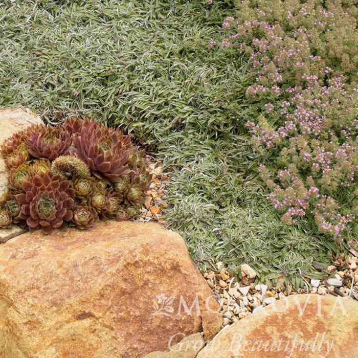 QP Thymus pseudolanuginosus/Wooly Thyme
