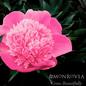 #2 Paeonia x Madame Emile Debatene/Peony Dbl Salmon Pink
