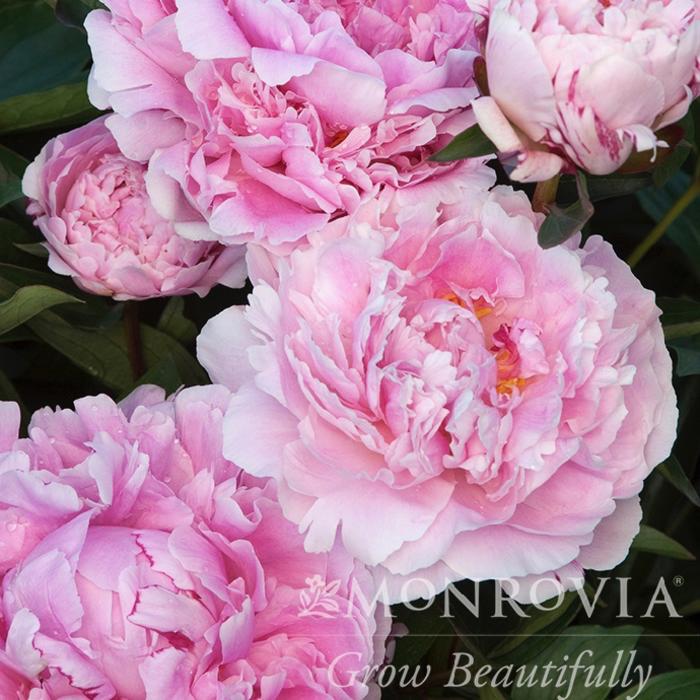 #2 Paeonia x Sarah Bernhardt/Peony Dbl Pink