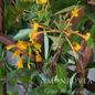 #1 Lonicera x Mandarin/Honeysuckle