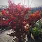 #15 Acer pal Ojishi/Japanese Maple Green Upright