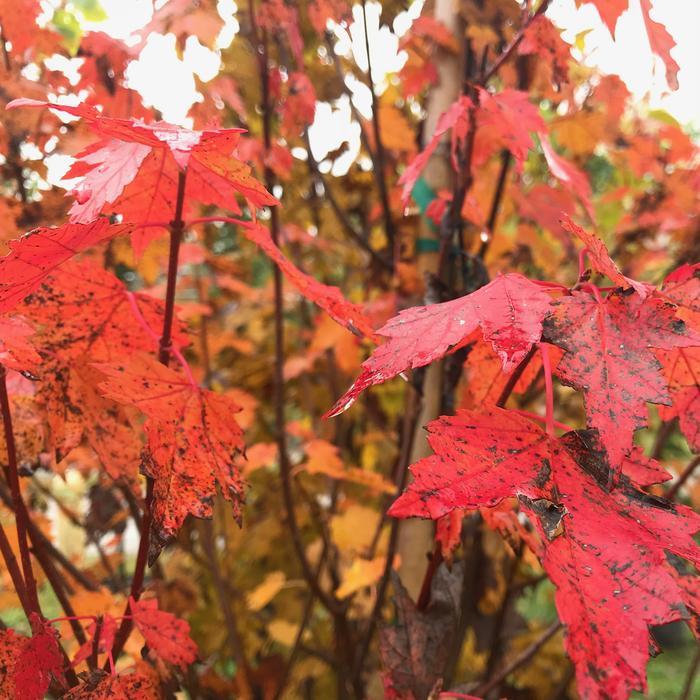 #5 Acer rubrum Sun Valley/Red Maple Fruitless