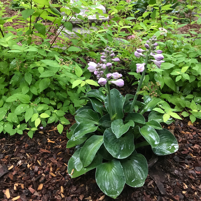 QP Hosta Blue Mouse Ears/Dwarf