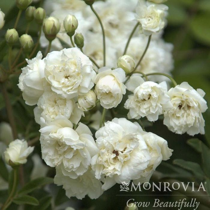 #1 Rosa Banks Alba Plena/Climbing White Rose NO WARRANTY