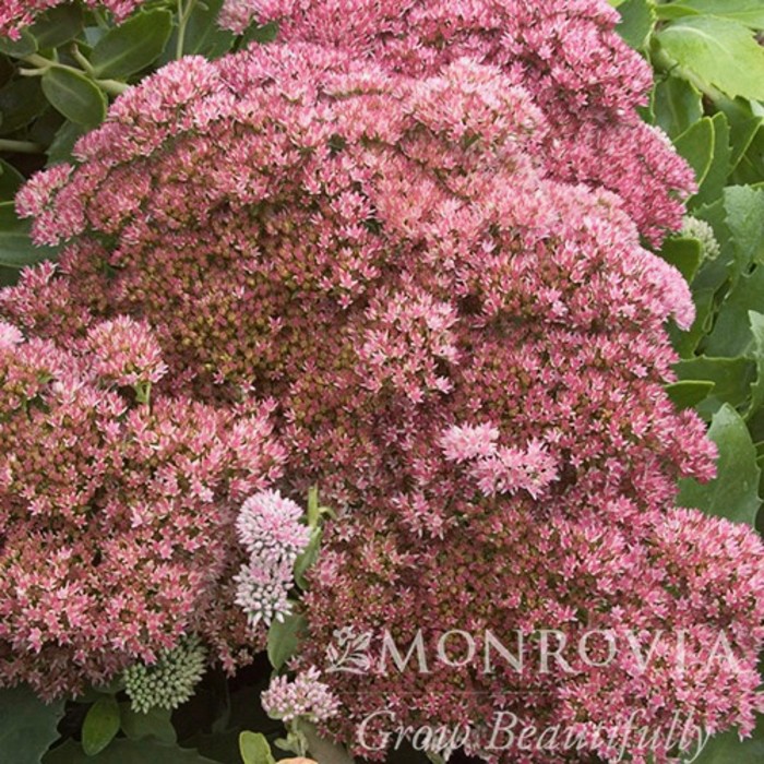 QP Sedum Autumn Joy/Stonecrop