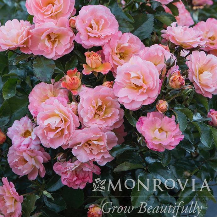 #3 Rosa 'Meiggili'/Peach Dwarf Drift Shrub Rose NO WARRANTY