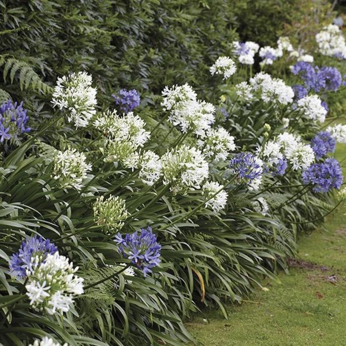 Bulb Agapanthus Blend Crowd Goes Wild 3/pk