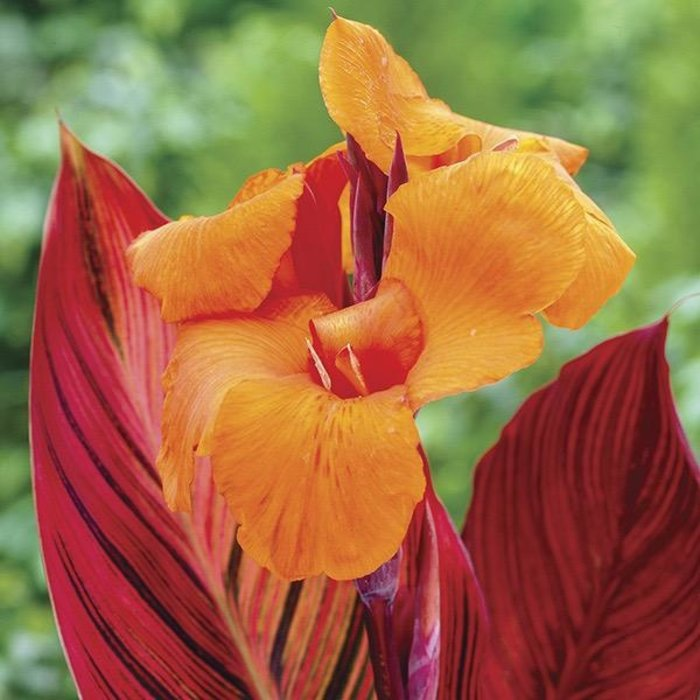 Bulb Canna Phaison Orange w/Red Leaves 2/pk