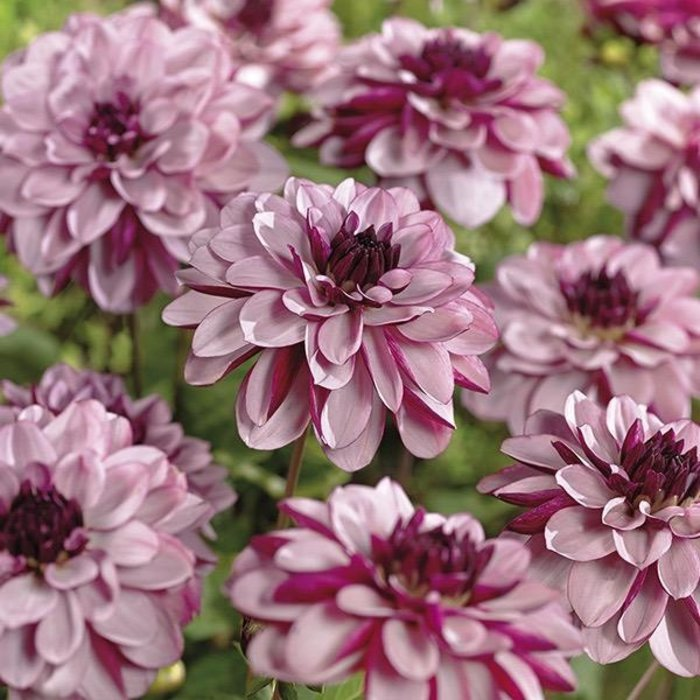 Bulb Dahlia Creme De Cassis /Pink & Mar /Decorative 2/pk