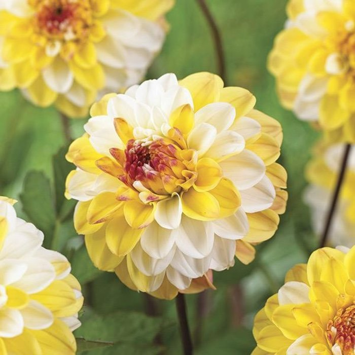 Bulb Dahlia Double Jill /Wht & Yell /Decorative 2/pk