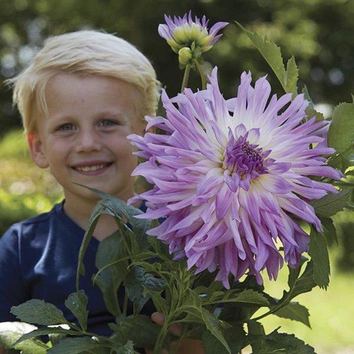 Bulb Dahlia Mingus Randy /Lav & Wht /Cactus 2/pk