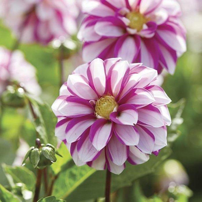 Bulb Dahlia Priceless Pink & Wht /WL 1/pk