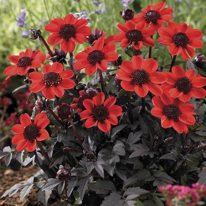 Bulb Dahlia Pulp Fiction Red w/Burgundy Leaves