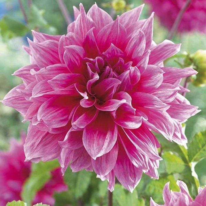 Bulb Dahlia Emory Paul /Pink /Dinnerplate 1/pk