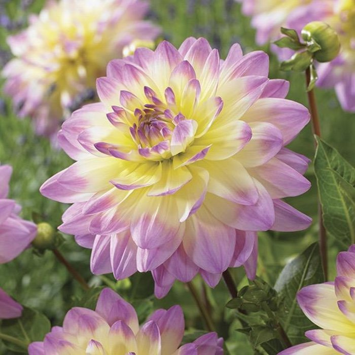 Bulb Dahlia Sagita /Pink & Yell / Decorative 2/pk