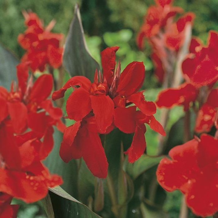 Bulb Canna Black Knight 2/Pk