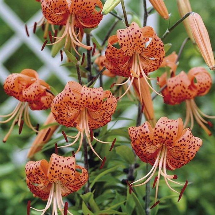 Bulb Lily / Tiger Lily Orange 3/pk