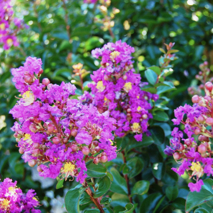 #2s Lagerstroemia Purple Cow Crape Myrtle Semi-dwarf Medium-purple