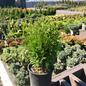 #1 Thuja occ Little Giant/Arborvitae Globe