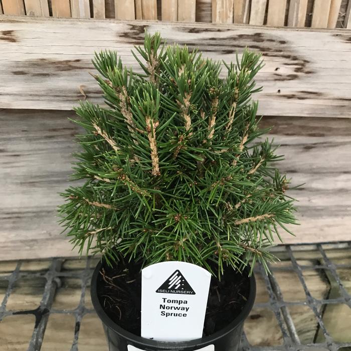 4P Bonsai Starter Picea abies Tompa/Dwarf Norway Spruce No Warranty