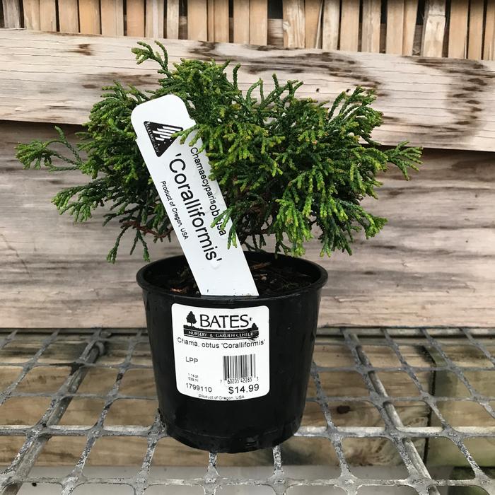 4P Bonsai Starter Chamaecyparis obt Coralliformis/Hinoki Falsecypress No Warranty