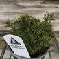 4P Picea abies Jana/Miniature Norway Spruce