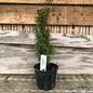 4p Taxus baccata Silver Spire/Irish Yew Variegated