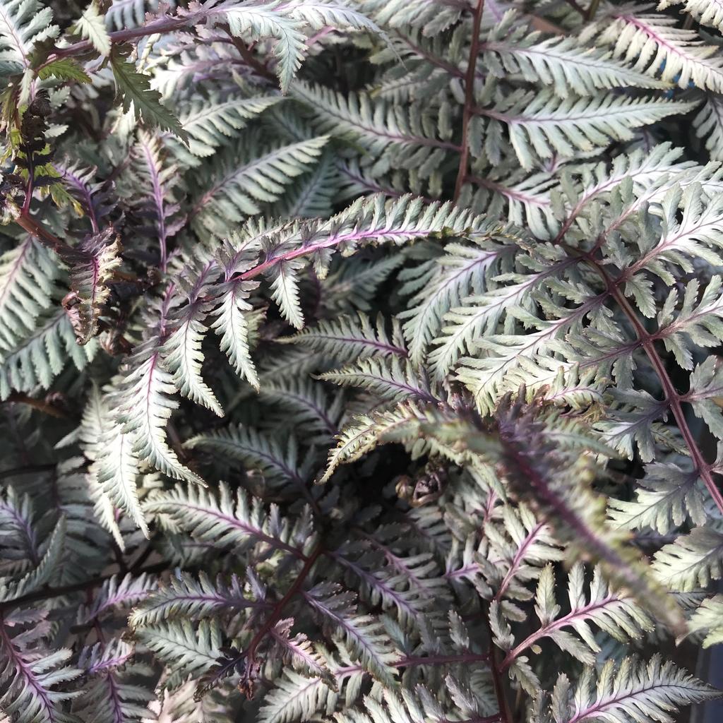 #1 Athyrium niponicum Pictum/Japanese Painted Fern