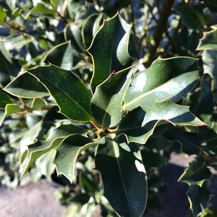 #7 Ilex x Historyland/Hybrid Holly (Self-fertile)