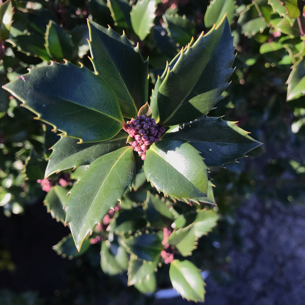 #2s Ilex x meserveae Heckenstar/Castle Wall Blue Holly (Male)