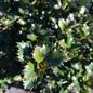 #3 Ilex x meserveae WillEmer/Emerald Magic Holly (Male)