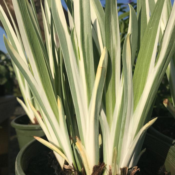 #1 Iris ensata Variegata/Japanese Water