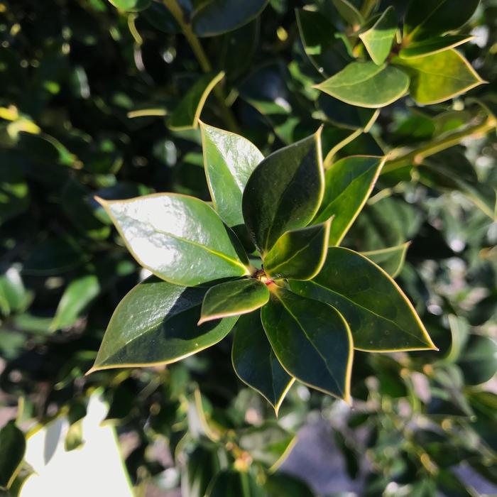 #7 Ilex cor Needlepoint/Chinese Holly