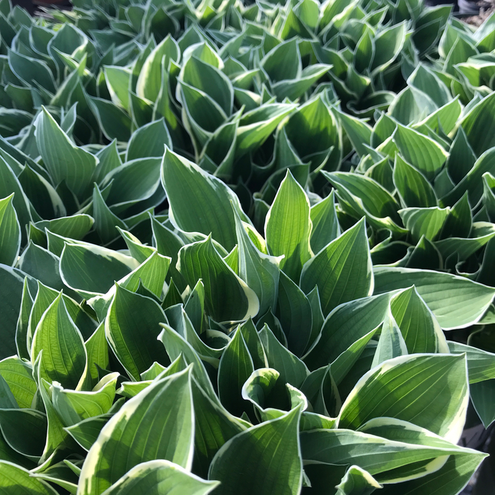 #1 Hosta x Francee/Dark Green Edged White
