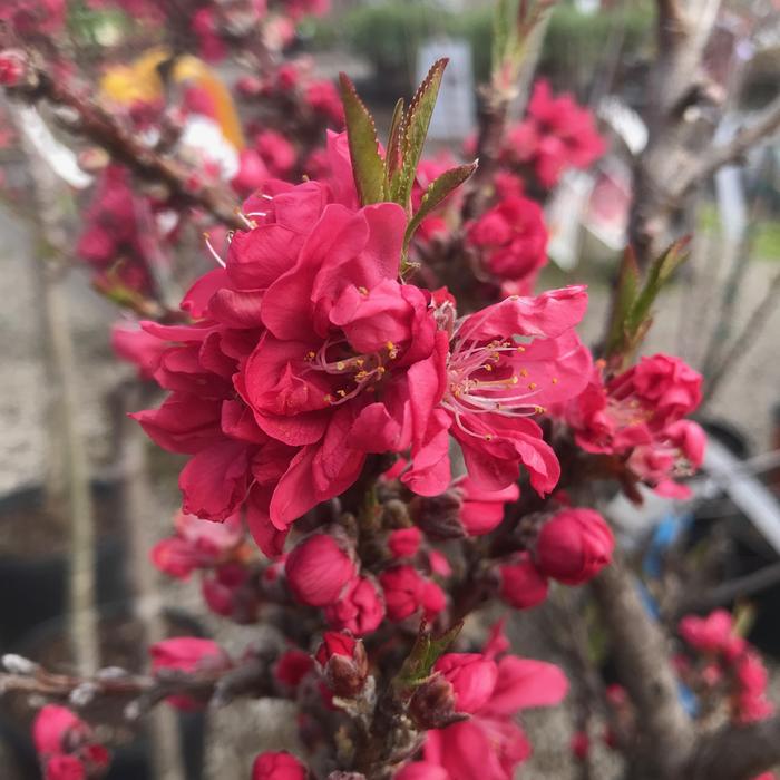 #7 PT Prunus persica 'Bonanza'/Dwarf Patio Peach