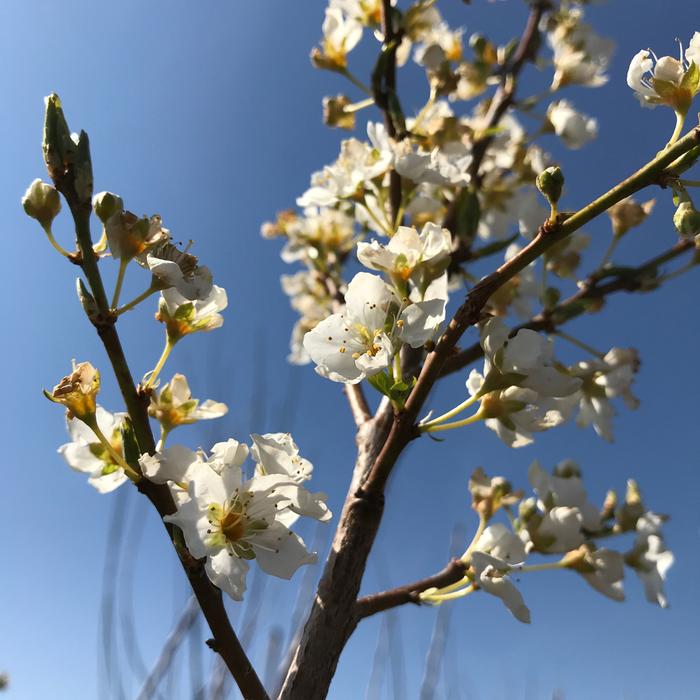 Edible #5 Prunus Au Rosa/Plum Semi-Dwarf
