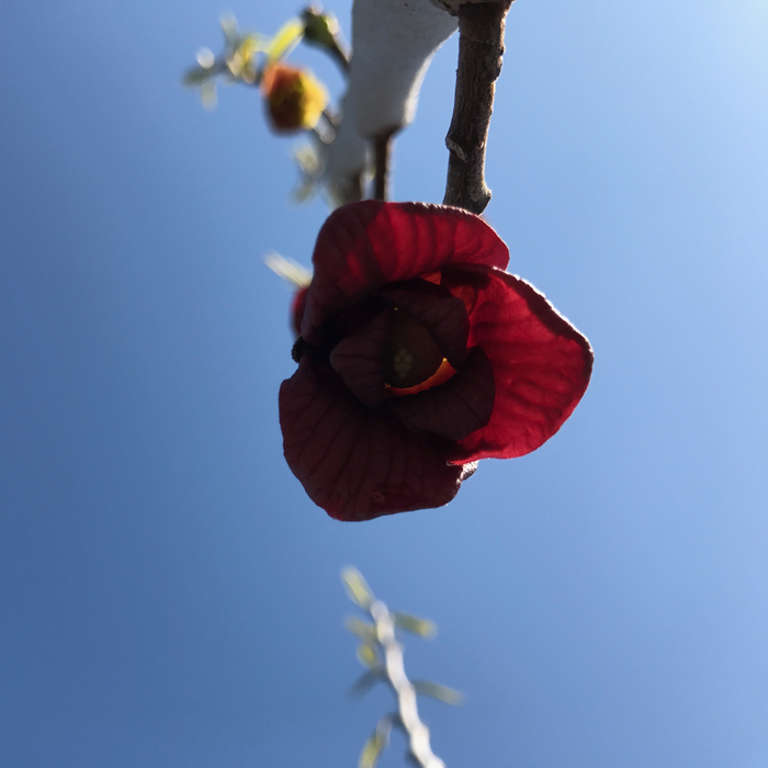 Edible #1 Asimina triloba/Paw Paw Tree