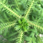 4p! Araucaria /Norfolk Island Pine /Tropical