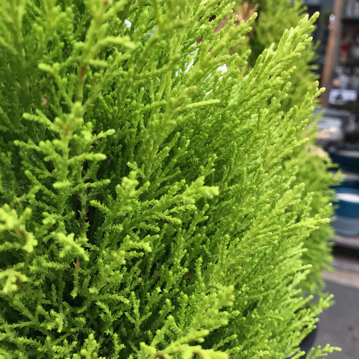 #3 Cupressus macrocarpa Wilma/Monterey Cypress NO WARRANTY