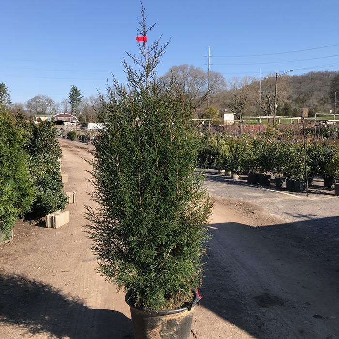 #15 Juniperus virginiana/Eastern Red Cedar Upright