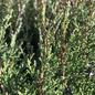 #15 Juniperus virg Taylor/Juniper Upright